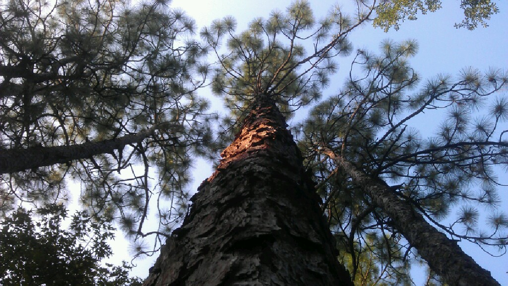 Longleaf Pine piling in the bark